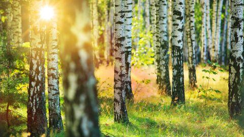 Ein Wald, durch den Pollen fliegen. Zwischen Bäumen strahlen Sonnenscheinen hindurch.