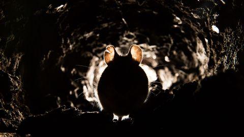 Lungenpest: Eine Maus sitzt in einer kleinen, dunklen Höhle.